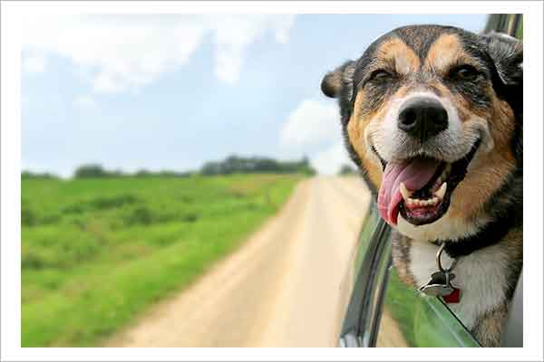 Dog in Car with Head Out Window